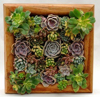 Delightful Square Pre Populated Succulent Living Wall With Redwood Box