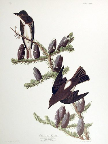 Olive sided Flycatcher. From''The Birds of America'' (Amsterdam Edition) Pl. 174 by