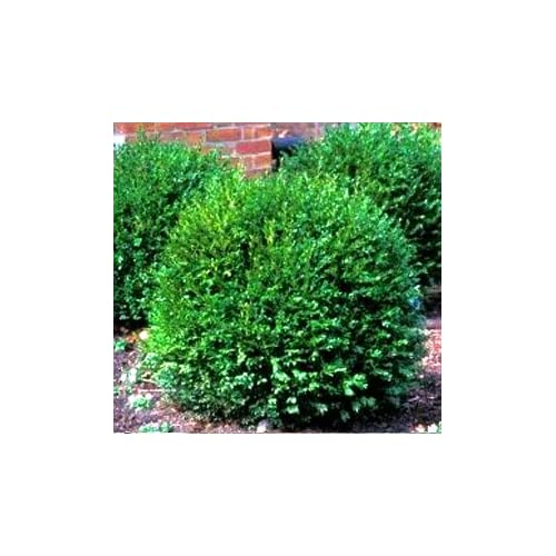 Green Gem Boxwood (3 gallon containers) Low maintenance evergreen