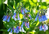 25 VIRGINIA BLUEBELLS True Blue & Pink Mertensia Virginica Flower Seeds