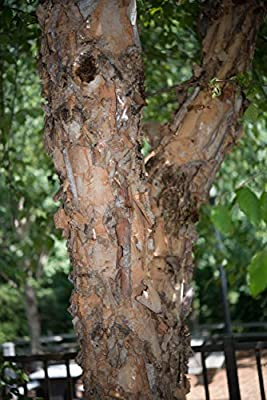 Duraheat River Birch Tree Seeds 125 Seeds Upc 650327337770 - Quick growing for new landscapes