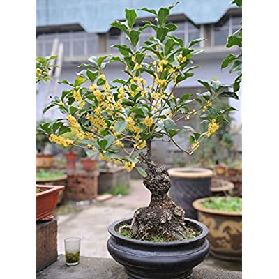 New Arrival!!! Osmanthus Seeds, Very Fragrant Osmanthus Tree Bonsai Plant Seeds -4 Particle / Lot : Garden & Outdoor