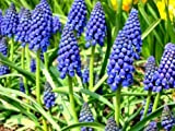 10 Muscari Armeniacum Grape Hyacinth Blue Color Flower Bulb Perennial Spring