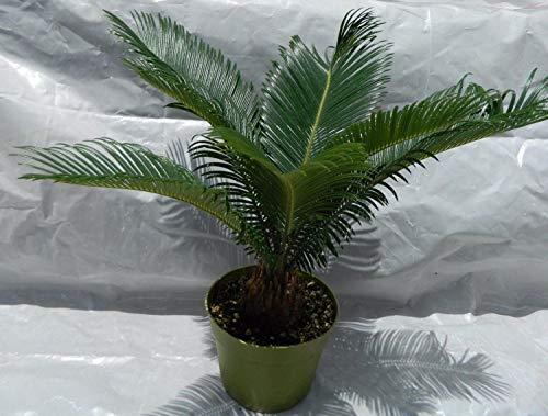 Sago Palm Plant, 6