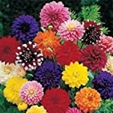 20+ Dinner Plate Dahlia Mix / Bi-Color and Solid / Early-Blooming Annual Flower