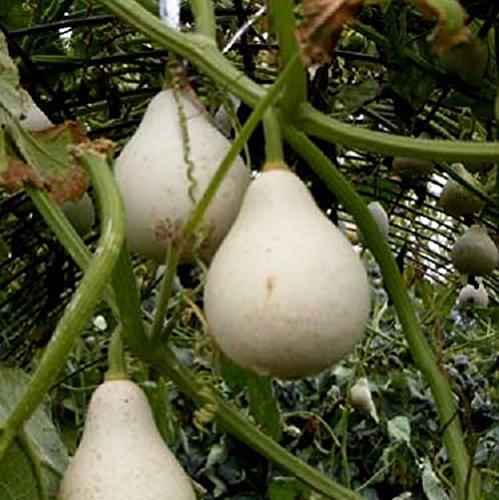 MySoftware 10 Seeds of Lagenaria siceraria - Pear Gourd -...