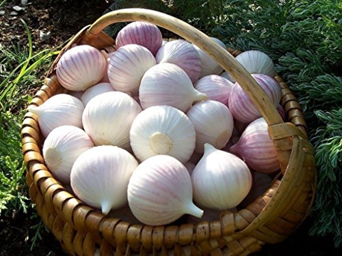 Seeds Giant Garlic Lyubasha Winter Bulbs Organic Heirloom Ukraine For Planting