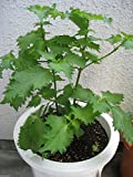 1000 Shiso/Perilla Seeds (Perilla Frutescens) Green beefsteak plant,(OG) Organic
