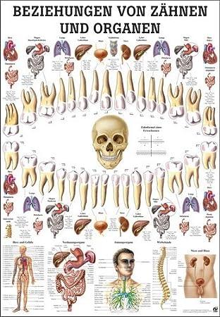 Beziehungen von Zä hnen und Organen Lehrtafel Anatomie 100x70 cm med. Lehrmittel 70 cm x 100 cm laminiert Ruediger Anatomie TA75LAM