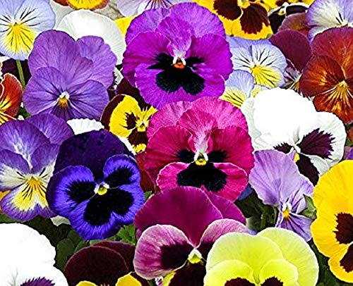 300 Pansy Mix Swiss Giants Seeds - Heirloom Flowers - Open Pollinated