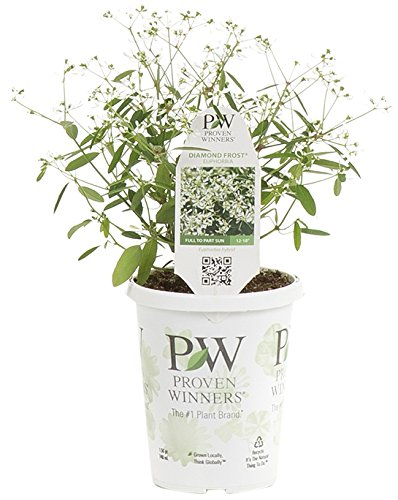 Diamond Frost (Euphorbia) Live Plant, White Flowers, 4.25 in. Grande, 4-pack For Sale