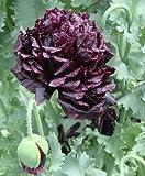 Schwarzer Mohn - 100 Samen