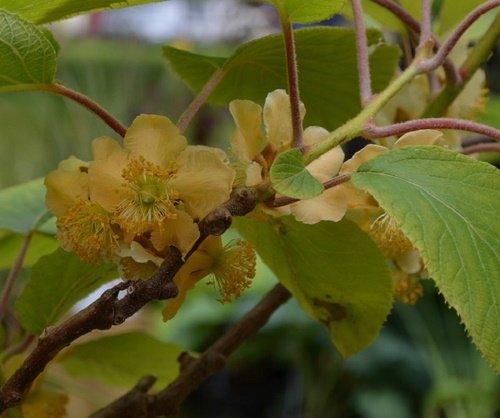 Actinidia deliciosa, Fuzzy Male Kiwi vine. Live plant to 1'-2' tall by Maya Gardens, Inc. (Image #1)