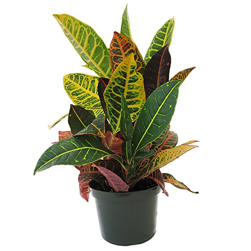 AMPLEX Petra Croton Live Plant, 1 Gallon, Indoor/Outdoor by AMPLEX