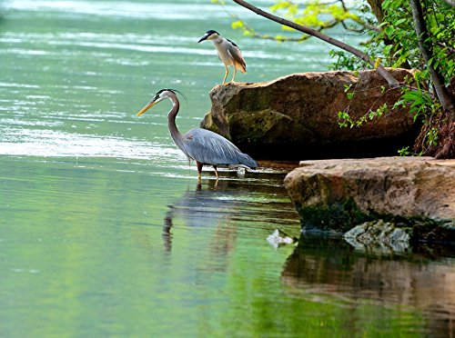 Home Comforts Laminated Poster Great Blue Herons Niagara for sale  Delivered anywhere in USA