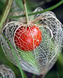 Physalis Chinese Lanterns Winter Cherry Tomato Gooseberries 100 Seeds