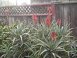 ALOE ARBORESCENS SEEDS MEDICINE PLANT