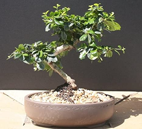 Amazon Com Imported Fukien Tea Bonsai Tree By Sheryls Shop Bonsai Plants Grocery Gourmet Food