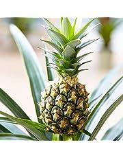 Comosus Ananas | Ananasplant | Hoogte 35-40 cm | Pot - Ø12cm