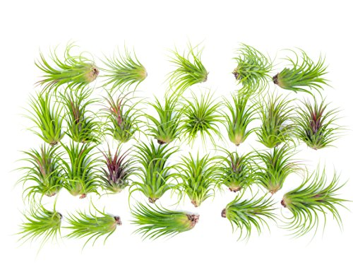 25 Large Ionantha Tillandsia Air Plant Pack - Each 2 to 3.5 Inches Long - Live Tropical House Plants for Home Decor - Indoor Terrarium Air Plants (Best Fertilizer For Tropical Plants)