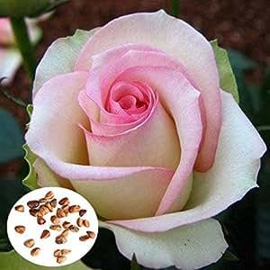 Bargain World 50pcs Pink White Rose Seeds DIY Home Garden Dec