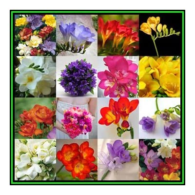 25 South African Flower Bulbs, Ixia Exotic Flower Bulbs, Great for Borders or Containers : Garden & Outdoor