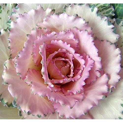 Cheap (AKACR)~CRANE PINK FLOWERING KALE~Seed!~So Pretty!! free shipping