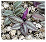 """Wandering Jew Tradescantia Zebrina 9"""" TO 12'' Long 1-Cuttings/ground cover plant"""