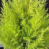 Cupressus macrocarpa 'Goldcrest' 15cm Pot Size