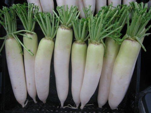 2500+DAIKON/MINOWASE RADISH Non-Gmo Organic Seed Sprouts Garden Patio Containers