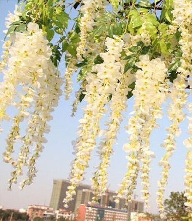 Coobl3.6 Ft Realistic Romantic Classic Artificial Fake Wisteria Vine Ratta Silk Flowers for Garden Floral Decoration DIY Living Room Hanging Flower Plant Vine Home Party Wedding Simulation Decor 12 Pcs (White) - Diy Wedding Decor