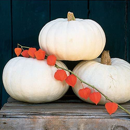 White Pumpkin Seeds - David's Garden Seeds Pumpkin Valenciano SL9254 (White) 25 Non-GMO, Open Pollinated Seeds
