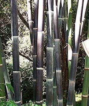Shopvise gialli 50 semi di bamb/ù rari gigante nero Moso Bamb/ù Bambu Semi pacchetto Bambusa professionale Semi Lako albero per il giardino domestico Giallo