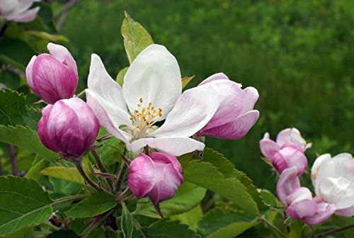 - Fragrancebuddy APPLE BLOSSOM FRAGRANCE OIL - 1 OZ - FOR CANDLE & SOAP MAKING BY FREE S&H IN USA