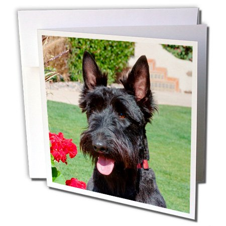 Scottish Terrier portrait, MR, - Greeting Cards, 6 x 6 inches, set of 12 (gc_207521_2)