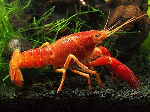 Red Aquarium Lobster - Aquatic Arts Neon Red Crayfish (Male/Female Pair)   Live Freshwater Aquarium Lobster/Crawfish/Crawdad/Real Living Fish Tank Pet