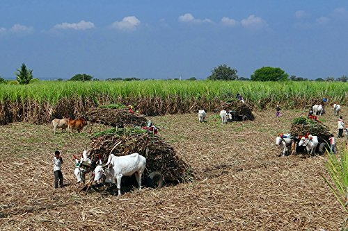 - Home Comforts LAMINATED POSTER Ox Cart Crop Harvest Sugarcane Countryside Field Poster 24x16 Adhesive Decal