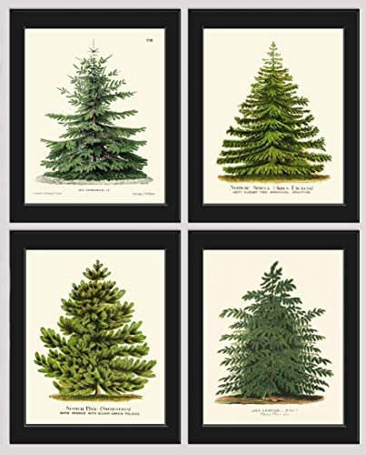 Pine Tree Christmas Trees Print Set of 4 Unframed Beautiful Botanical Nordmann Fir or Caucasian Fir Norway Spruce Scotch Pine Japanese Larch Home Room Holiday Decor Wall Art