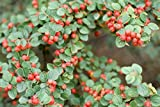 New Rockspray Cotoneaster , Cotoneaster horizontalis , 20 + Seeds ( Hardy Showy Fall Color )