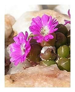 Oophytum oviforme - Mesembryanthemum - 15 seeds