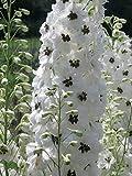 50 White Magic Fountain Delphinium Flower Seeds