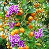 100 FRESH SEEDS duranta repens golden dewdrop