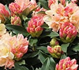 Golden Torch Rhododendron - Live Plant - Starter Plug (LG)