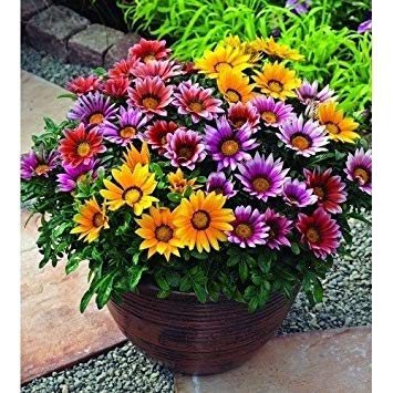 - Fash Lady 30+ Gazania Frosty KISS Mix Flower Seeds/Drought-Tolerant RESEEDING Annual