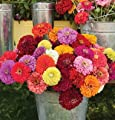 David's Garden Seeds Flower Zinnia Benary's Giant Mix D1346 (Multi Color) 50 Open Pollinated Seeds