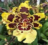 Colmanara Wildcat 'Carmela' oncidium orchid in spike now