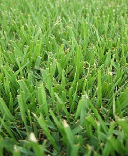 Zoysia Grass - 9