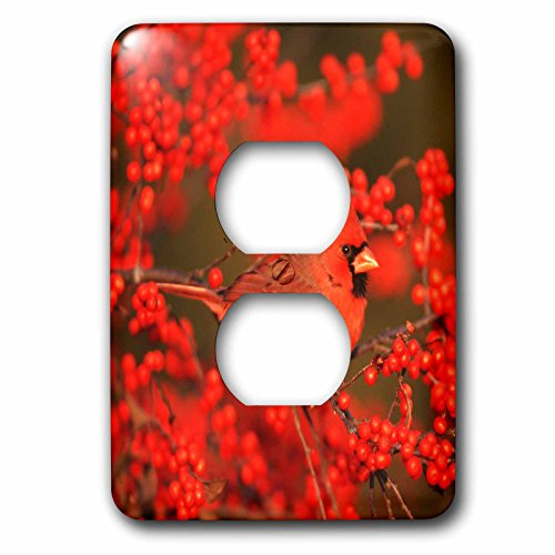 3dRose Danita Delimont - Cardinal - Northern Cardinal male in Common Winterberry Marion, IL - Light Switch Covers - 2 plug outlet cover (lsp_250893_6)
