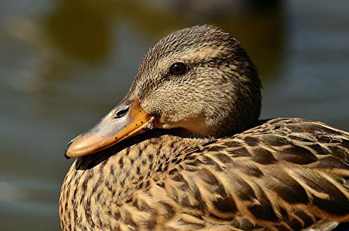 Home Comforts Canvas Print Anas Platyrhynchos Mallard Female Mallard Duck Vivid Imagery Stretched Canvas 32 x 24 ()