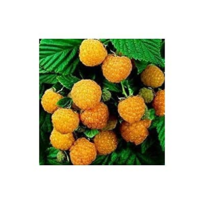 Free Shipping 30pcs Rubus corchorifolius Seeds GIANT BLACKBERRY Raspberry StrawBerry fruit Seeds